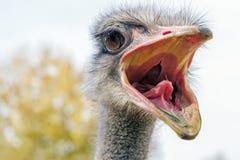 画象的恼怒的驼鸟关闭,关闭驼鸟头非洲鸵鸟类骆驼属 免版税库存照片