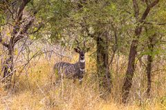 画象美丽在Meru丛林的一点kudu  肯尼亚,非洲 库存图片