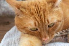 画象美丽的metis红色猫,特写镜头说谎 库存照片