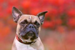 画象被射击一条小鹿法国牛头犬狗和在红色秋天背景前面的尖的耳朵的头与黑面具的 皇族释放例证