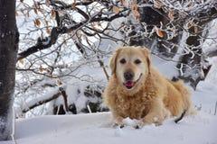 画象金毛猎犬冬天斯诺伊 库存照片