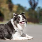 画象黑白狗博德牧羊犬放下在地面和神色 免版税图库摄影