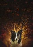 画象od坐在布什-艺术版本前面的狗黑白博德牧羊犬 图库摄影
