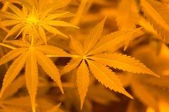 留下大麻 免版税库存图片