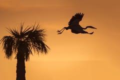 留下它的巢在日出-佛罗里达的伟大蓝色的苍鹭的巢 库存照片