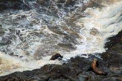 留下岩石壁架的海狮 免版税库存照片