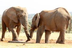 留下我水的非洲人布什大象 免版税库存照片