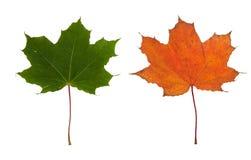 留下槭树二 免版税库存图片