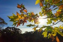 留下槭树光亮的星期日 库存照片