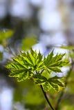 留下槭树年轻人 免版税库存图片