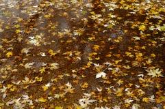 留下槭树水坑 免版税库存照片