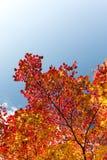留下槭树红色结构树 图库摄影