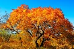 留下槭树红色结构树 库存照片