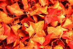 留下槭树红色 库存图片