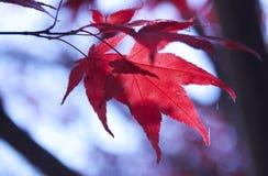 留下槭树红色 免版税图库摄影