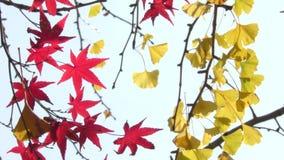 留下槭树红色 影视素材