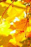留下槭树阳光 库存照片