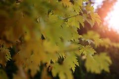 留下槭树黄色 库存照片