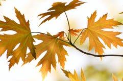 留下槭树 免版税库存照片