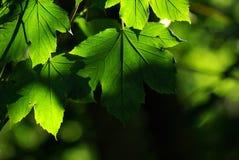 留下槭树 免版税库存图片