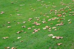 留下槭树 免版税图库摄影