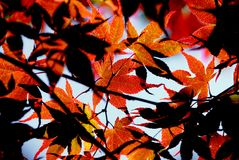 留下槭树 图库摄影
