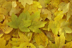 留下槭树 库存图片