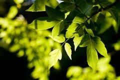 留下槭树 库存照片