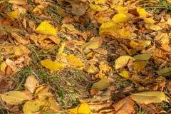 留下白杨树黄色 免版税图库摄影