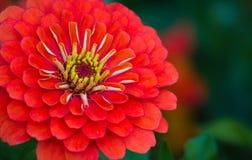 留下的红色百日菊属特写镜头 图库摄影
