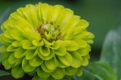 留下的绿色百日菊属特写镜头 库存照片