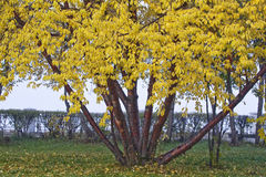 留下结构树黄色 免版税库存图片