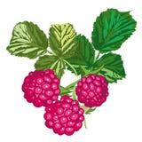 留下莓 皇族释放例证