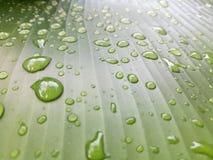留下雨珠 在香蕉叶子的水滴 免版税库存图片