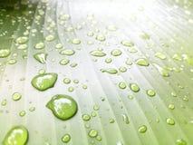 留下雨珠 在香蕉叶子的水滴 免版税库存照片