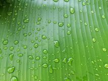 留下雨珠 在香蕉叶子的水滴 库存图片