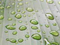 留下雨珠 在香蕉叶子的水滴 免版税图库摄影