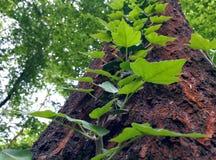 留下结构树 库存照片