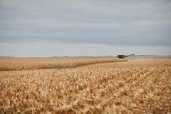 留残梗在部分地被收获的玉米的领域 免版税库存图片