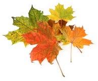 留给槭树多彩多姿 免版税库存图片