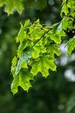 留给槭树多雨 图库摄影