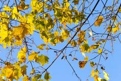 留给槭树被染黄 库存照片