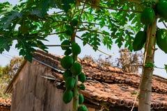 番木瓜关闭视图用在看起来一个农村的房子附近的番木瓜令人敬畏 免版税库存照片