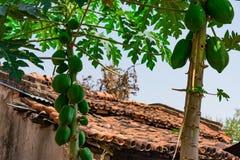 番木瓜关闭视图用在看起来一个农村的房子附近的番木瓜令人敬畏 库存照片