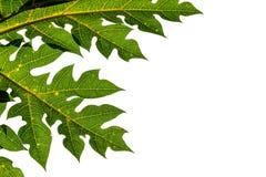 番木瓜叶子。 免版税库存照片
