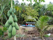 番木瓜和小船在湄公河,越南乡下,湄公河三角洲 免版税图库摄影
