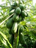 番木瓜在树的束果子 库存照片