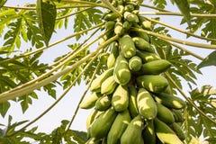 番木瓜多数普遍的果子 库存照片