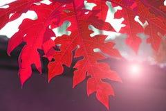 番木瓜绿色叶子  热带亚洲植物 热带绿色ba 库存照片