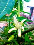 番木瓜花在地方 库存图片